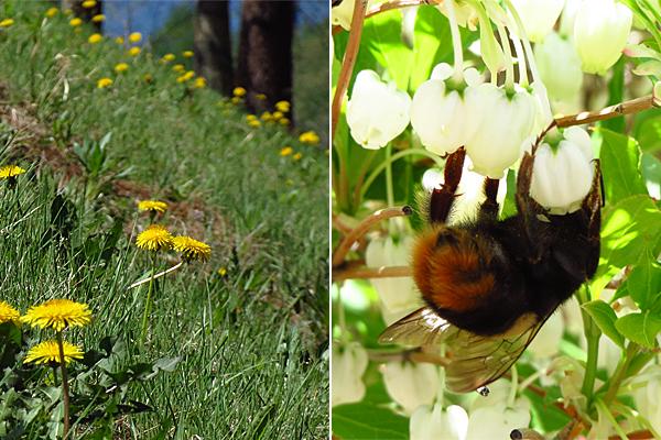 たんぽぽと蜂
