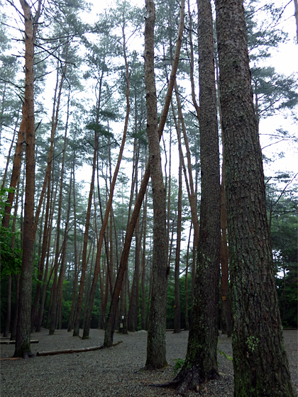 アカマツ林