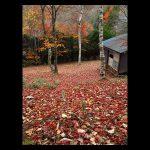 落ち葉で埋め尽くされてキレイ