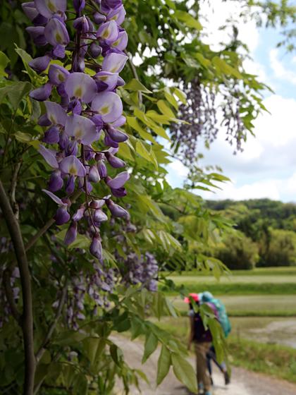 藤の咲く農道