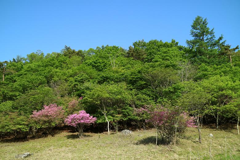 青空と新緑とミツバツツジ
